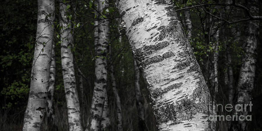 Birches Photograph