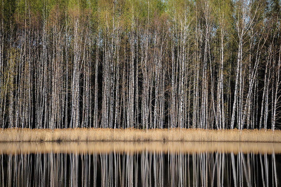 Birches In Spring Photograph  - Birches In Spring Fine Art Print