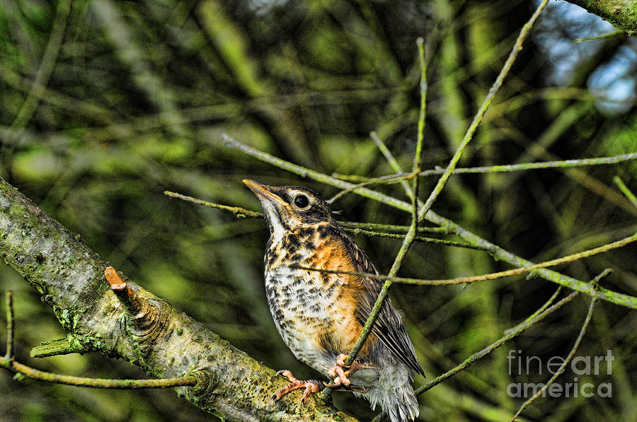 Bird - Baby Robin Photograph