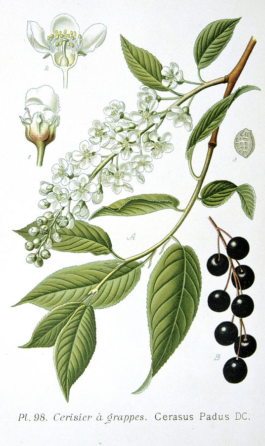 Bird Painting - Bird Cherry Cerasus Padus Or Prunus Padus by Anonymous