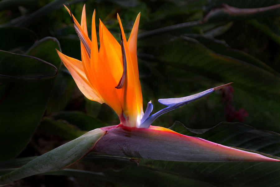Bird Of Paradise Flower Photograph