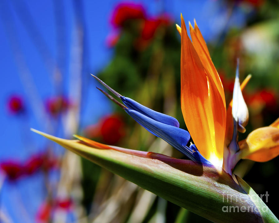 Bird Of Paradise Open For All To See Photograph