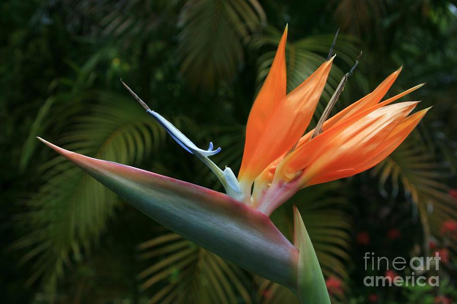 Bird Of Paradise - Strelitzea Reginae - Tropical Flowers Of Hawaii Photograph