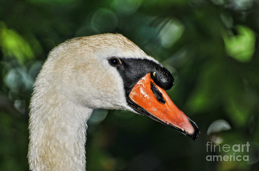 Bird - Swan - Mute Swan Close Up Photograph  - Bird - Swan - Mute Swan Close Up Fine Art Print