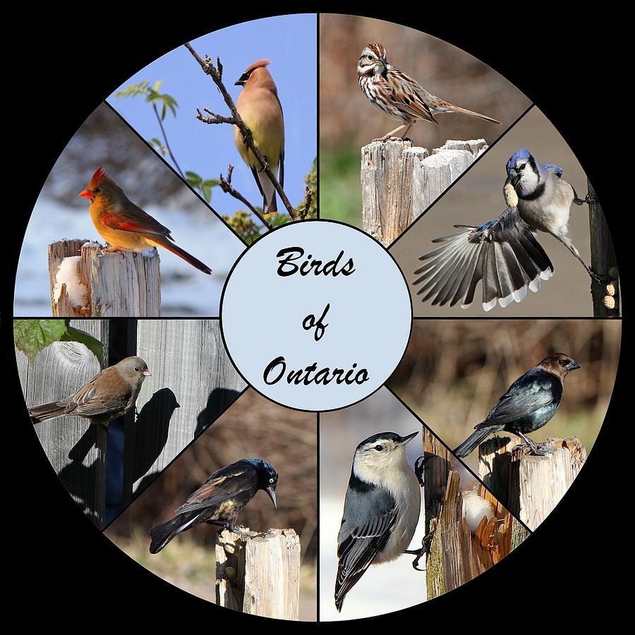 Birds Photograph - Birds Of Ontario by Davandra Cribbie