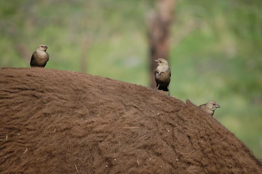 Birds On Back Of Bison Digital Art