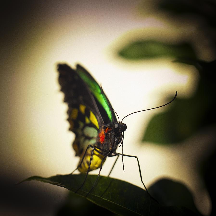 Birdwing Butterfly Photograph
