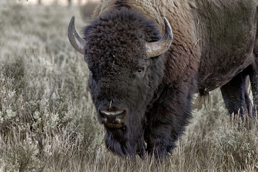 Bison Closeup Photograph  - Bison Closeup Fine Art Print
