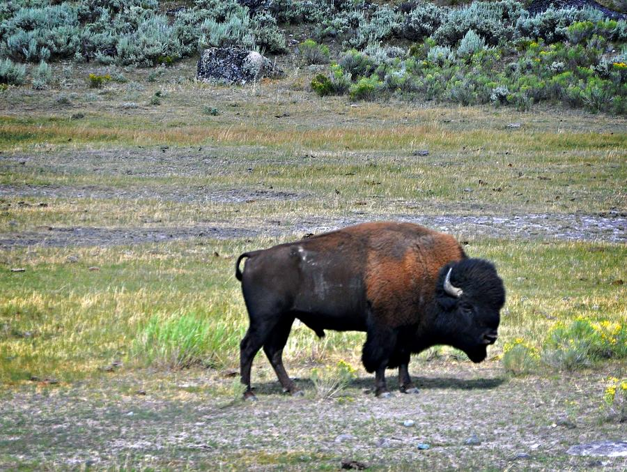 Bison In Lamar Valley Photograph