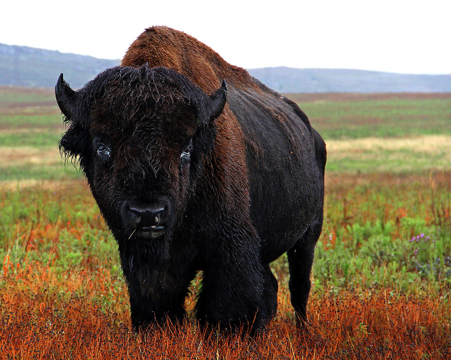Bison Oklahoma Bison In The Rain Phot...