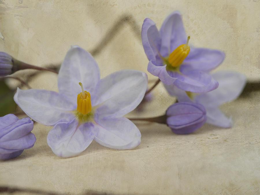 Floral Fine Art Photography Photograph - Bittersweet Nightshade by Irina Wardas