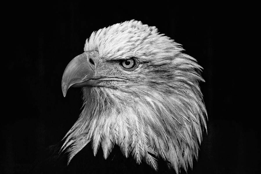 Black And White Eagle D2687 Photograph by Wes and Dotty Weber