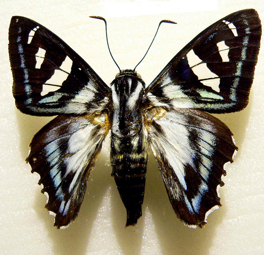 Black And White Moth Photograph