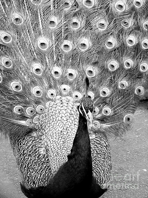 Peacock black and white picture - photo#27