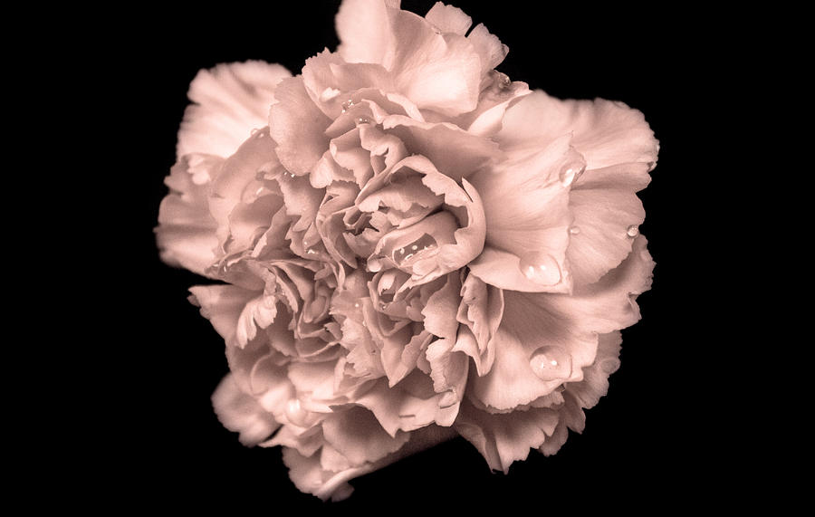 White Peony Flower Art Black And White Peony Flower