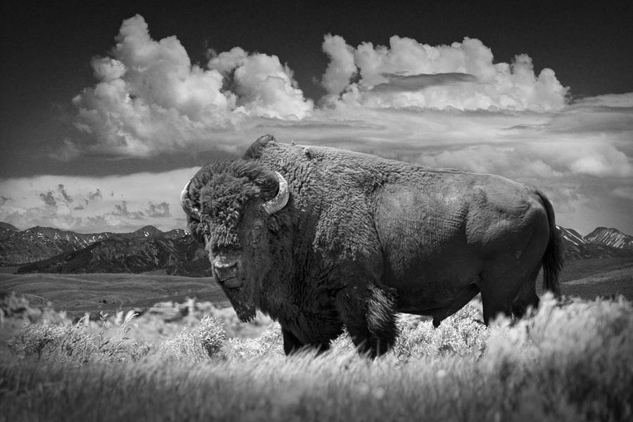 Black And White Photograph Of An American Buffalo