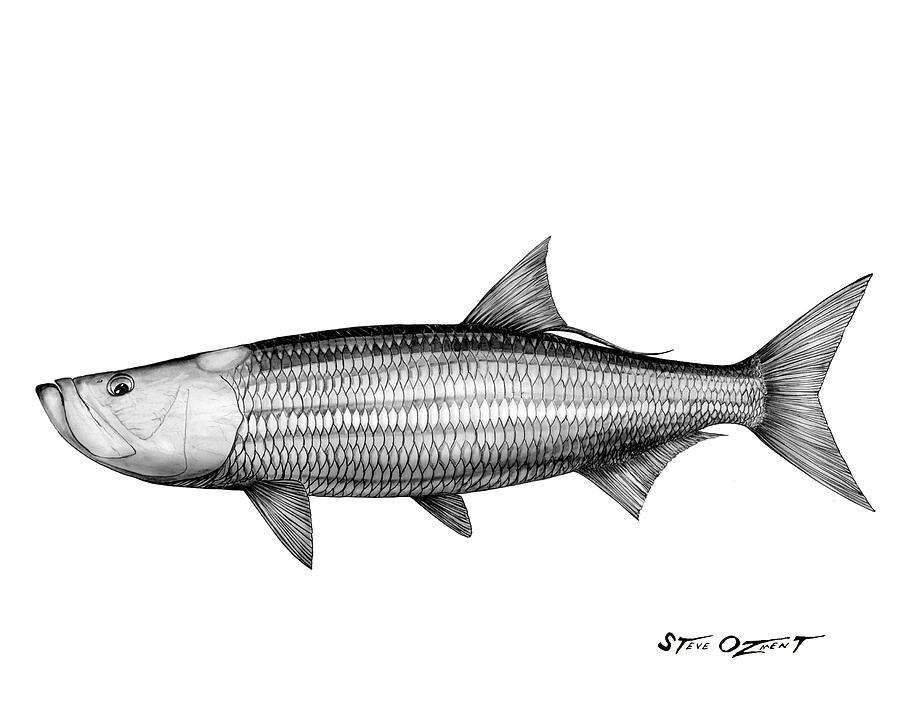 Black And White Tarpon Drawing  - Black And White Tarpon Fine Art Print