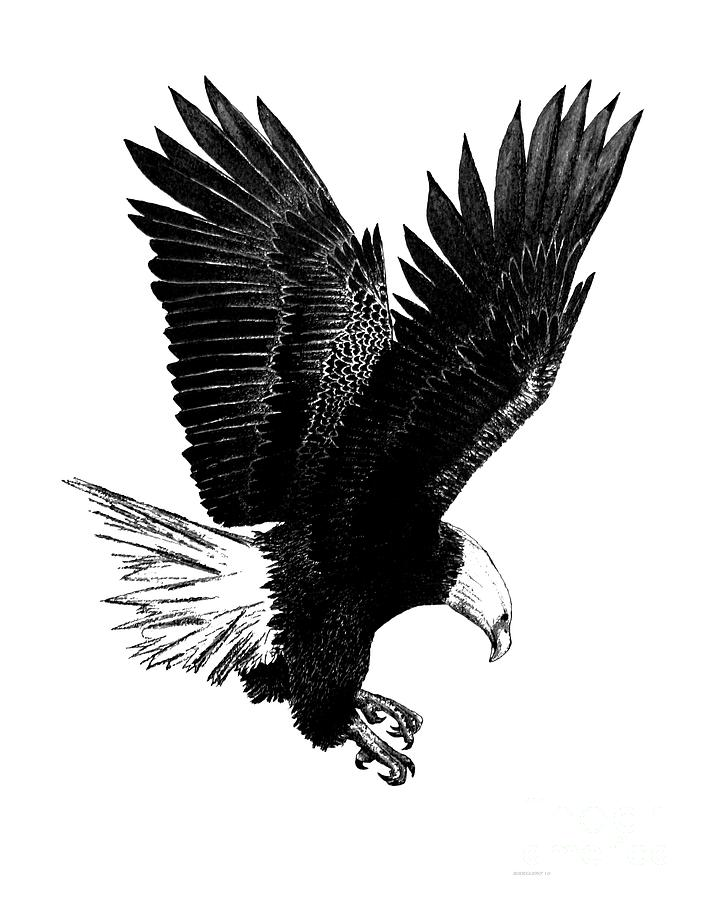 Black And White With Pen And Ink Drawing Of American Bald Eagle  Drawing