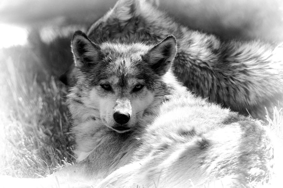 Black And White Wolf S...