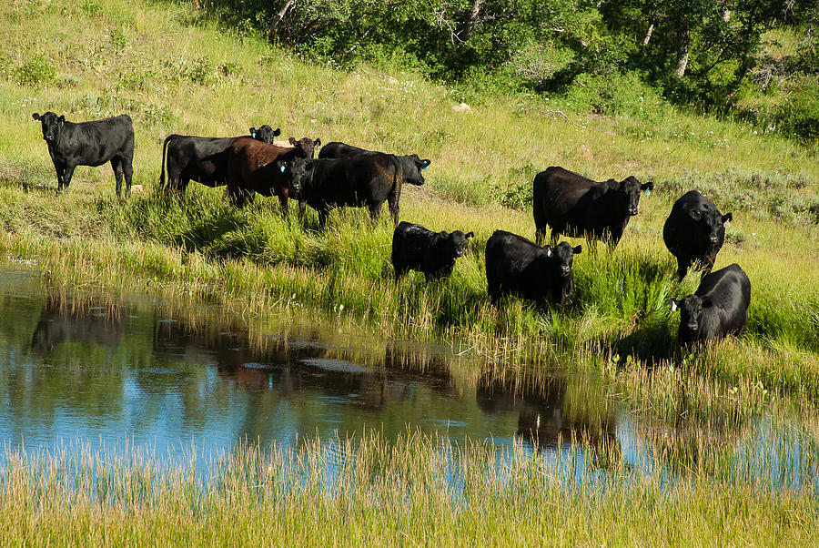 Black Angus Cattle Grazing Kolob Area Markagunt Plateau Utah Photograph