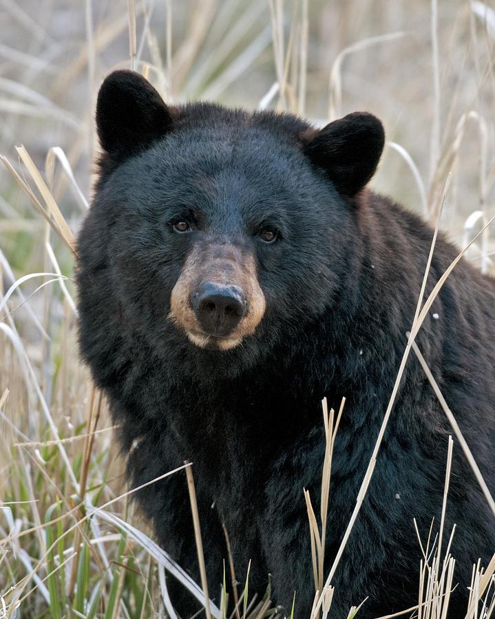 black-bear-closeup-gary-langley.jpg