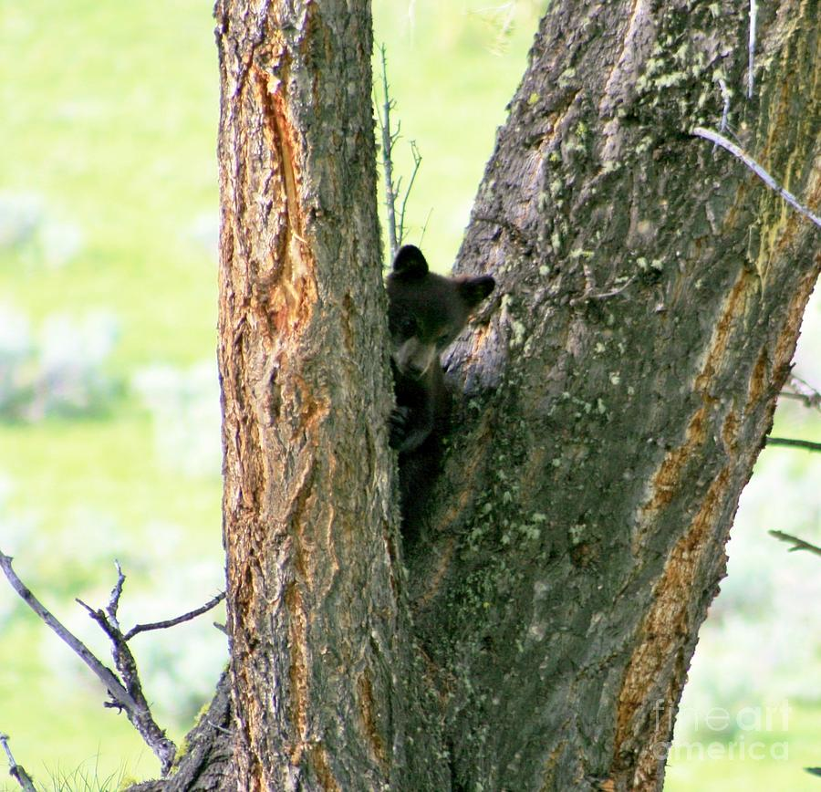 Black Bear Cub In A Tree Photograph  - Black Bear Cub In A Tree Fine Art Print