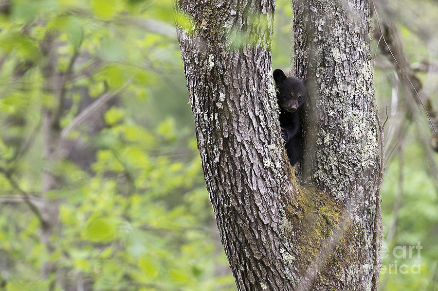 Black Bear Cub In Fork Of Tree Photograph