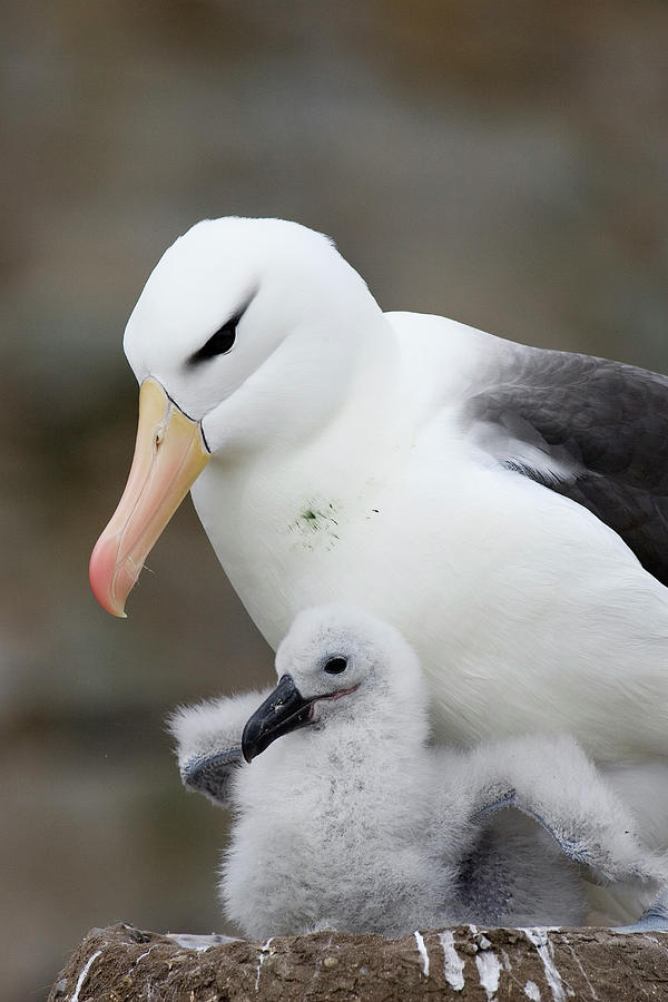 Black-browed Albatross And Chick Photograph