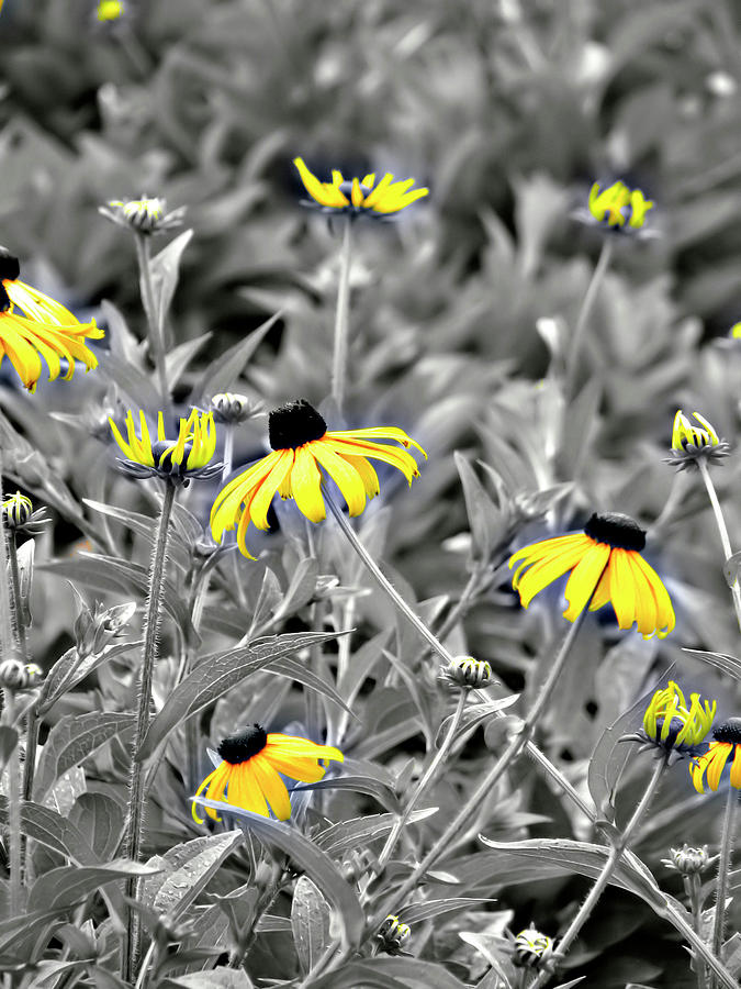 Black-eyed Susan Field Photograph