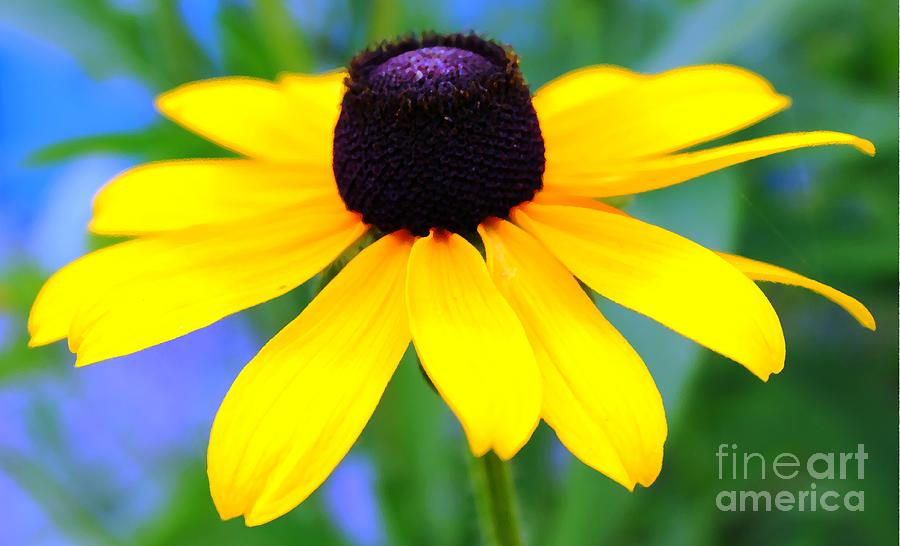 Black Eyed Susan Photograph  - Black Eyed Susan Fine Art Print