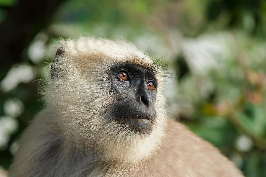 Black Faced Monkey Photograph