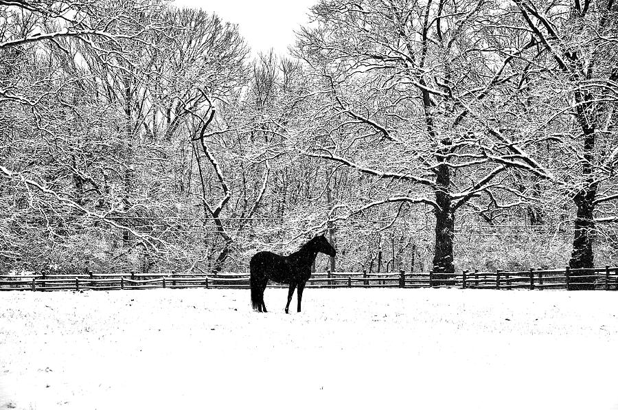 Black Horse In The Snow Photograph  - Black Horse In The Snow Fine Art Print