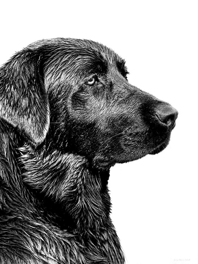 Black Labrador Retriever Dog Monochrome Photograph