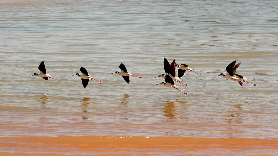 Black-necked Stilt - Lake Powell Photograph