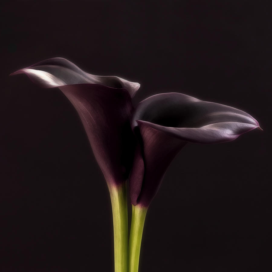 Black Purple Calla Flower - Study IIi - Flower Photograph Photograph