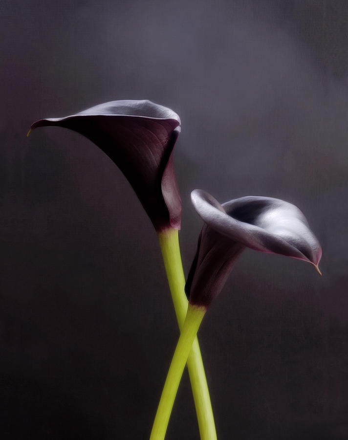 Black Purple Calla Lilies # 1 - Macro Flowers Fine Art Photography Photograph