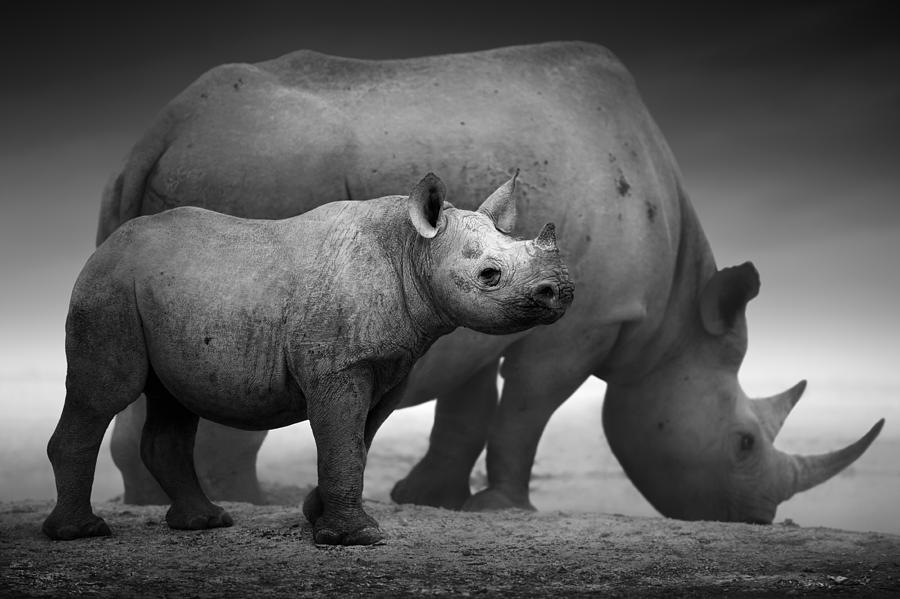 Black Rhinoceros Baby And Cow Photograph