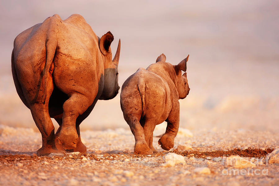 Black Rhinoceros Calf And Coway Photograph