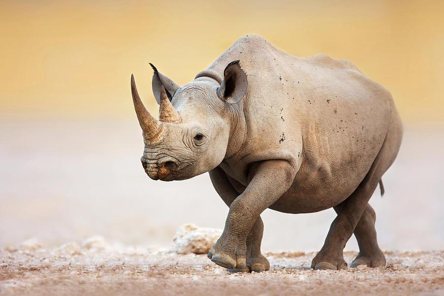 Square-lipped Photograph - Black Rhinoceros by Johan Swanepoel