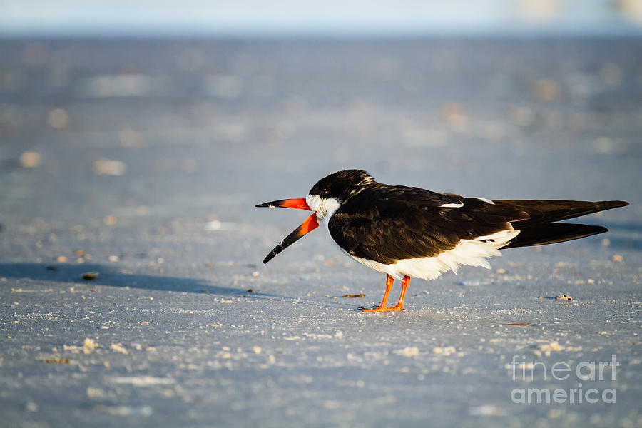 Black Skimmer Photograph  - Black Skimmer Fine Art Print