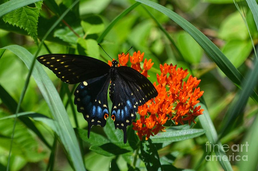 Black Swallow Tail On Beautiful Orange Wildlflower Photograph  - Black Swallow Tail On Beautiful Orange Wildlflower Fine Art Print
