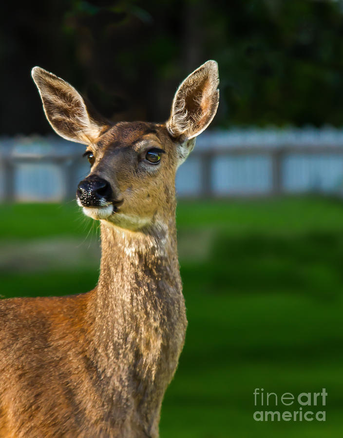 Blacktail Portrait Photograph  - Blacktail Portrait Fine Art Print