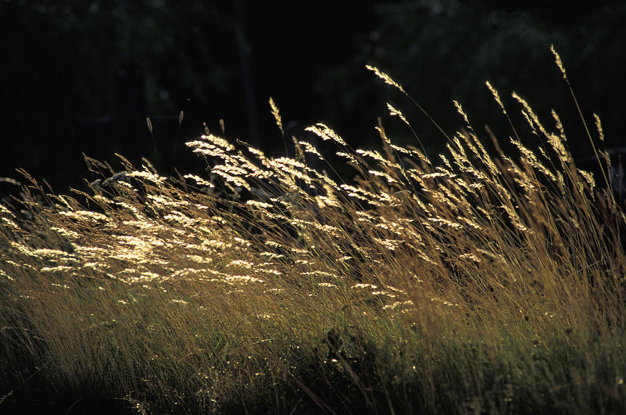 Blades Of Grass In The Sunlight Photograph