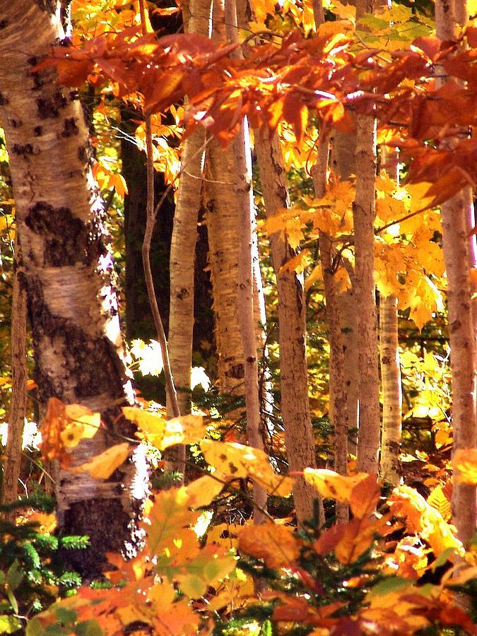 Blazing Birches Photograph