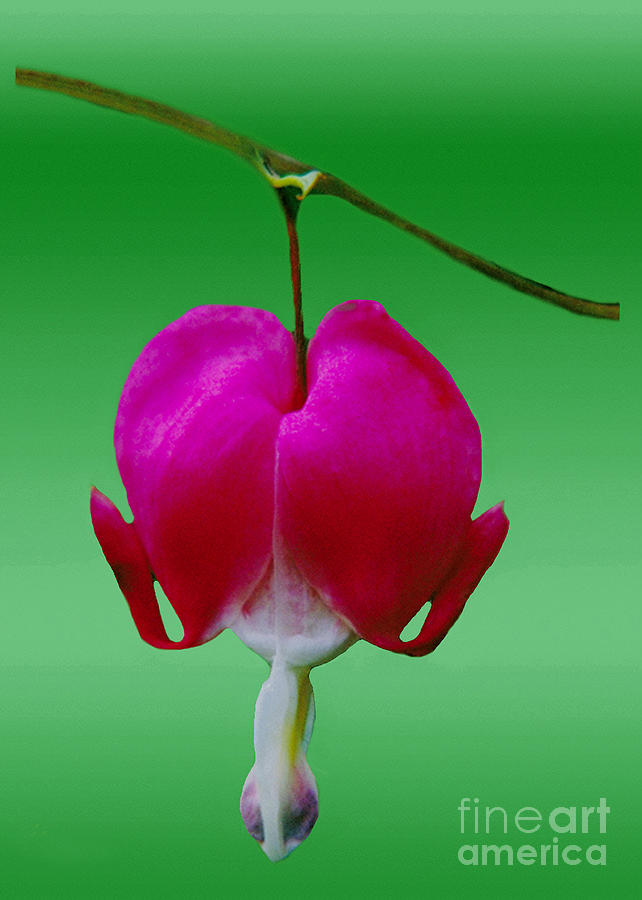 Bleeding Heart Bush Flower  Photograph  - Bleeding Heart Bush Flower  Fine Art Print