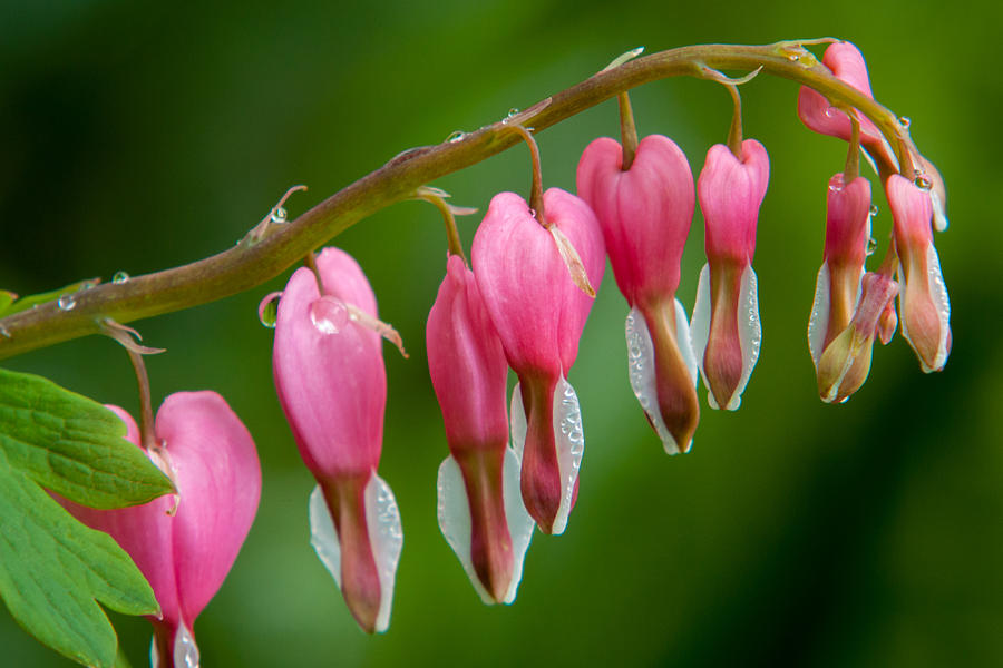 Bleeding Heart Photograph  - Bleeding Heart Fine Art Print