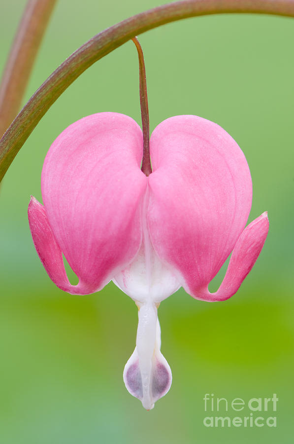 Bleeding Heart  Photograph