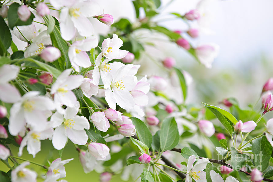 Blooming Apple Tree Photograph