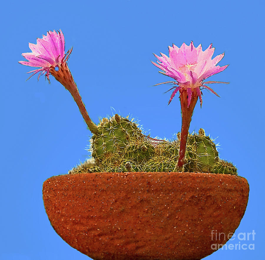 Blooming Beaver Tail Cactus Painting  - Blooming Beaver Tail Cactus Fine Art Print