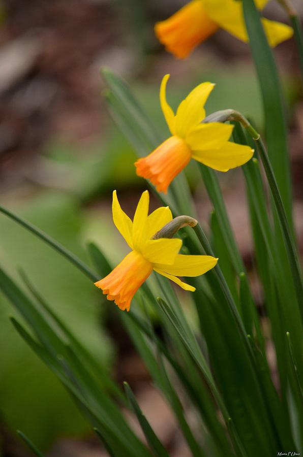 Blooming Daffodils Photograph